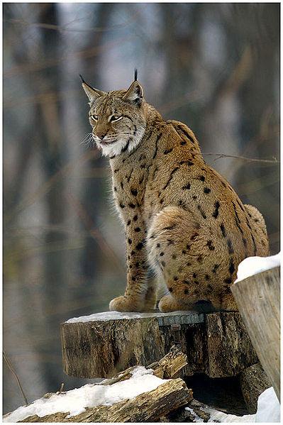 399px-Lynx_lynx2